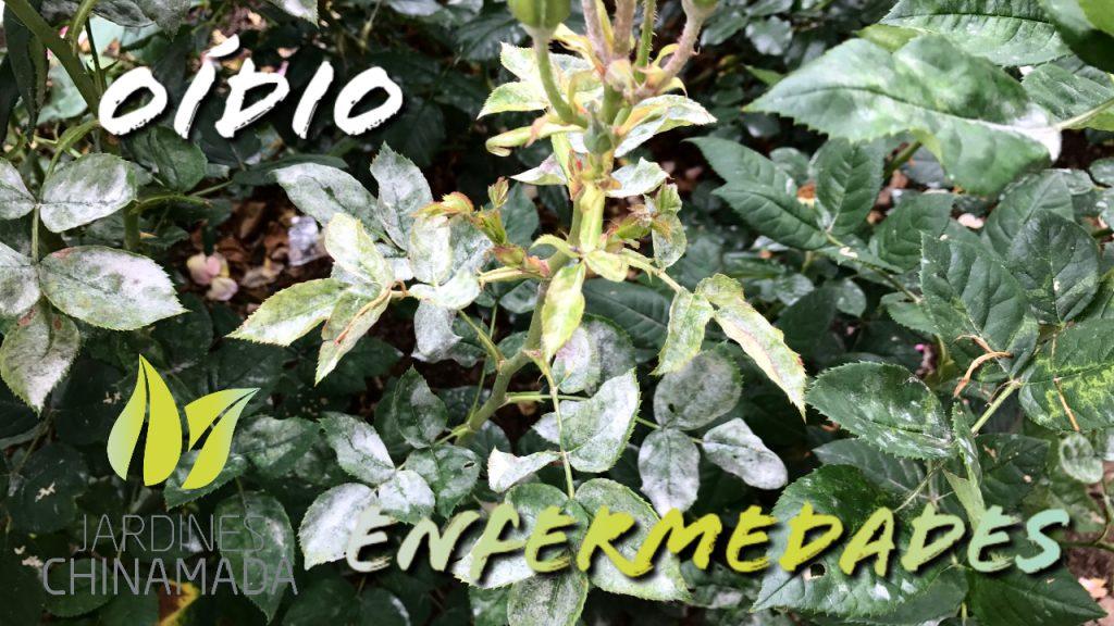 ENFERMEDADES – OÍDIO | Jardines Chinamada
